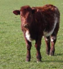 Beef Shorthorn cattle, California