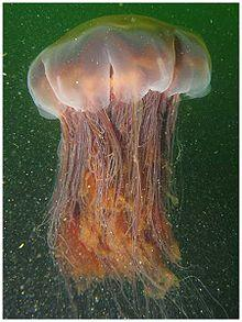 Hull Aquarium's Lion's Mane Jellyfish the Largest in Captivity