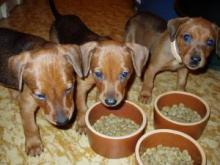 Pinscher puppies