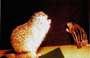 nocturnal porcupines-ground squirrels
